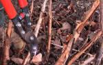 Обрезка древовидного пиона осенью