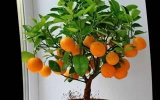 Декоративное мандариновое дерево уход в домашних условиях