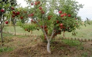 Полукарликовые яблони посадка и уход