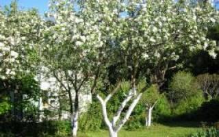 Можно ли белить деревья акриловой краской