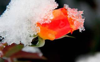 Готовим розы к зиме в подмосковье