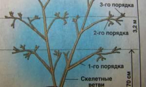 Обрезка актинидии осенью для новичков