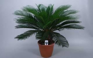 Чем подкормить пальму комнатную