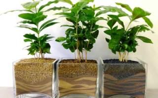 Как ухаживать за кофейным деревом дома