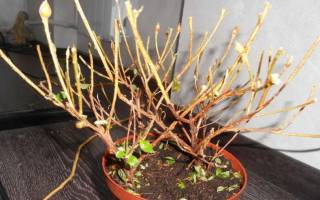 У азалии опадают листья и сохнут цветы