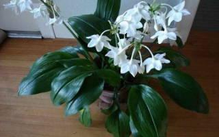 Комнатный цветок эухарис уход и пересадка