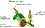 Что представляет собой шишка хвойных растений