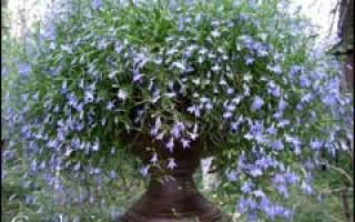 Как сохранить лобелию до весны