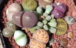 Цветы камни литопсы