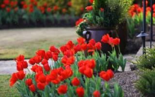 Посадка тюльпанов весной в грунт