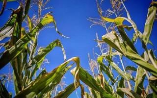 Что посадить после кукурузы на следующий год
