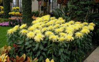 Когда сажать хризантемы в открытый грунт