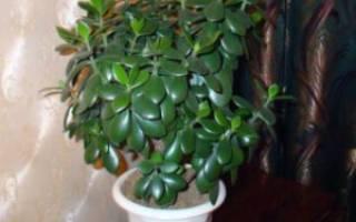 Цветок толстянка или денежное дерево полезные свойства