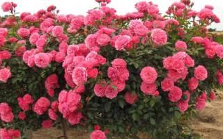 Что значит роза флорибунда