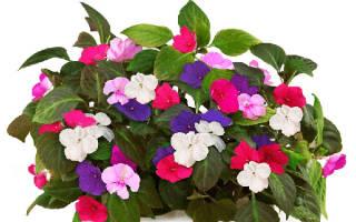 Цветок ванька мокрый уход в домашних условиях