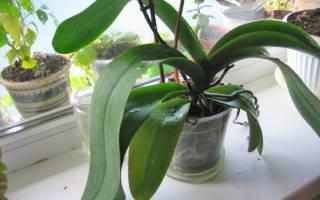 Орхидея фаленопсис не цветет что делать