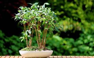 Почему фикус бенджамина сбрасывает листья что делать