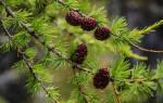 Лиственница хвойное или лиственное дерево