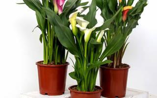 Комнатные цветы каллы как ухаживать