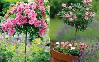 Как вырастить розу на штамбе