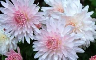 Сорта хризантем зимующих в открытом грунте