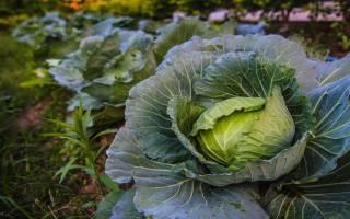 Технология выращивания капусты белокочанной в открытом грунте