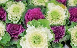 Цветы капуста декоративная посадка и уход