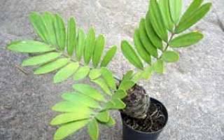 Замия комнатное растение уход