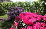 Азалия японская садовая посадка и уход