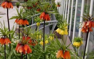 Рябчик обыкновенный цветок