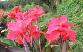 Цветок канна можно ли держать дома