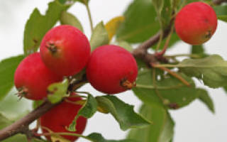 Райская яблоня посадка и уход