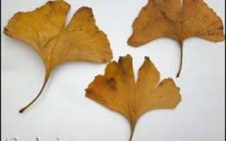 Гинкго билоба дерево выращивание