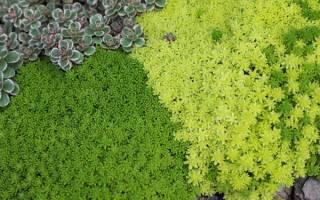 Покровные растения для сада