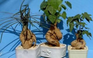 Брахихитон или дерево счастья