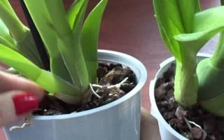 У фаленопсиса сгнили корни что делать