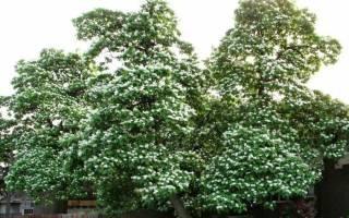 Дерево со стручками как у фасоли