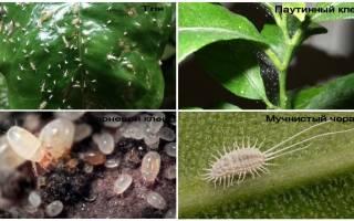 Маленькие белые жучки в земле комнатных растений