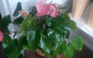 Anthurium цветок как ухаживать