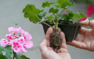 Размножение герани черенками осенью