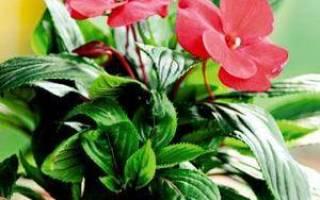 Вырастить бальзамин из семян дома