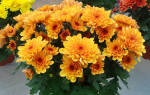 Вянет хризантема в горшке что делать