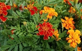 Цветы однолетки неприхотливые и красивые