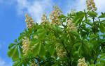 Как правильно посадить каштановое дерево