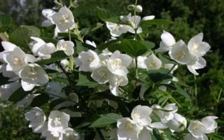 Жасмин выращивание и уход в саду