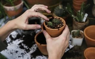 Пересадка кактусов осенью
